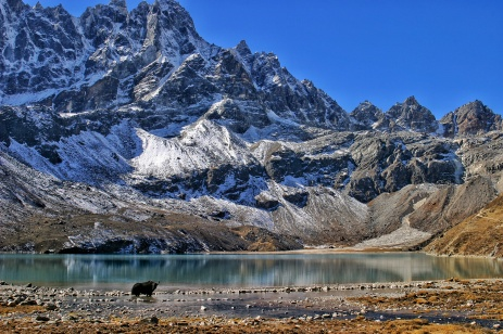 Gokyo Lake Yak Crossing Nepal