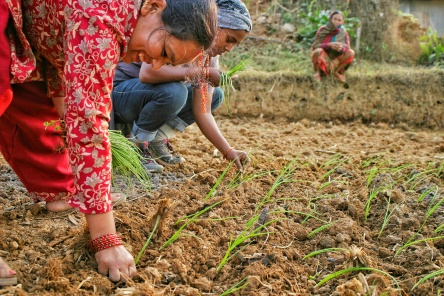 Nepal Jogatar Kolena Planting Onions